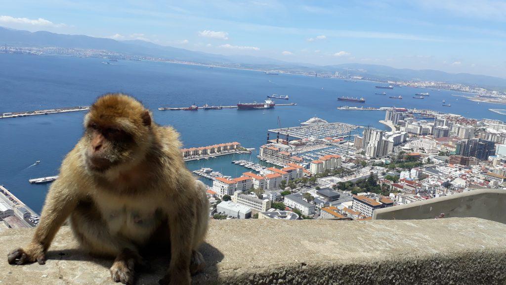 Berberaffen hautnah auf dem Felsen von Gibraltar