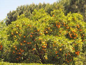 Farbenfrohe Orangenbäume im Jardin del Turia von Valencia