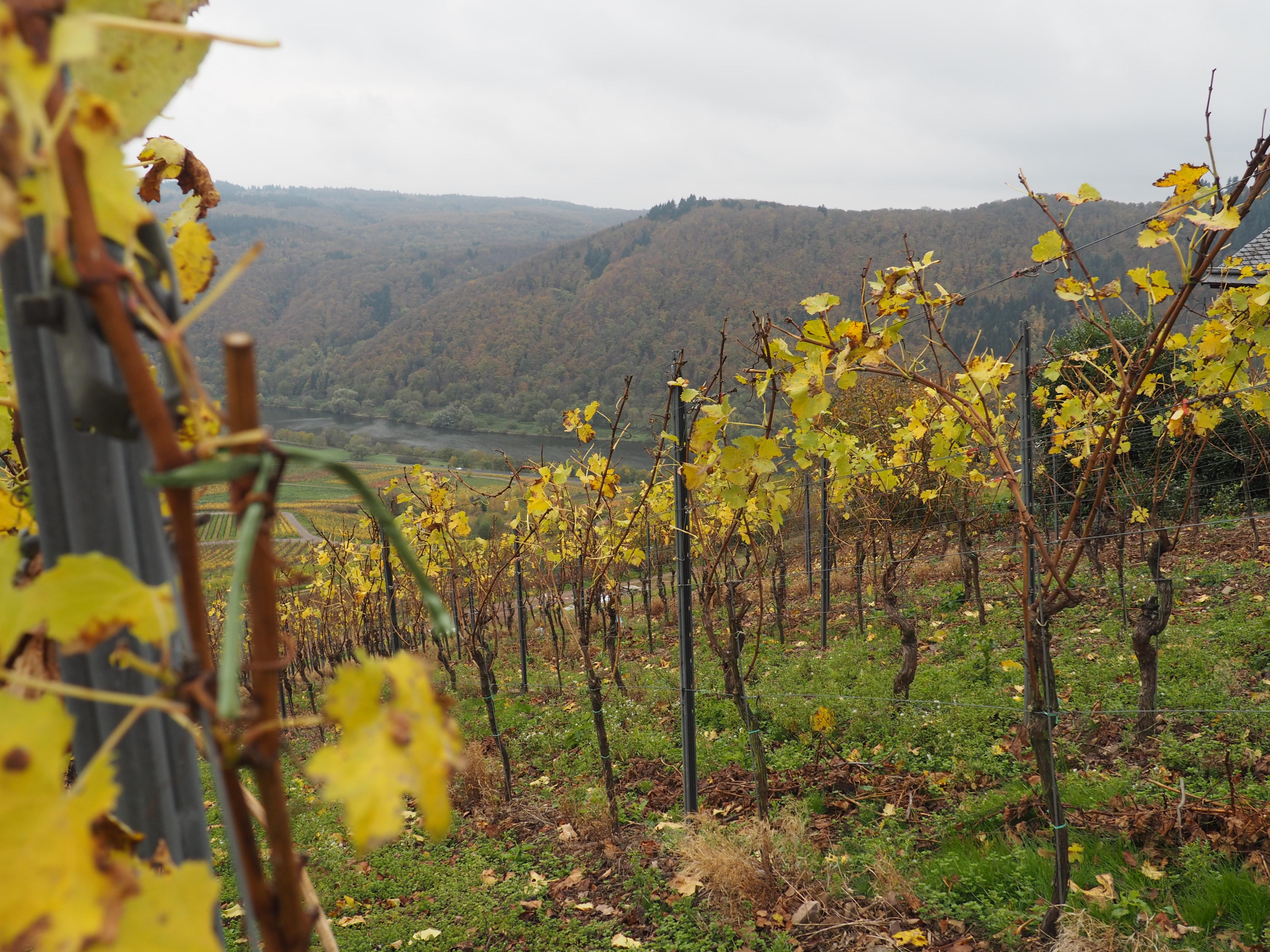 Hier startete unsere Weinwanderung oberhalb von Ediger Eller an der Mosel