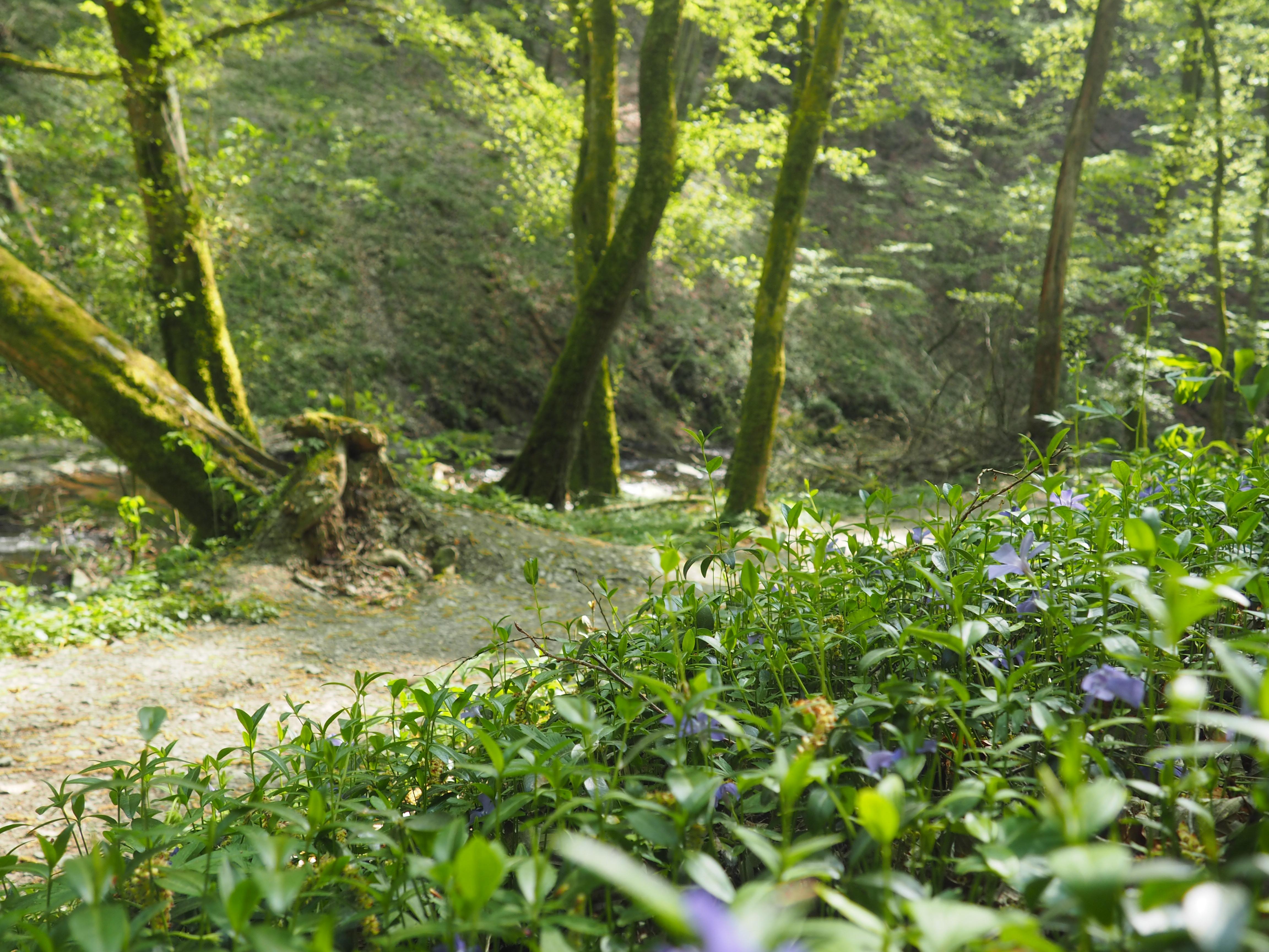 Im Frühling kann man viele bunte Blumen in der Ehrbachklamm in Brodenbach an der Mosel entdecken