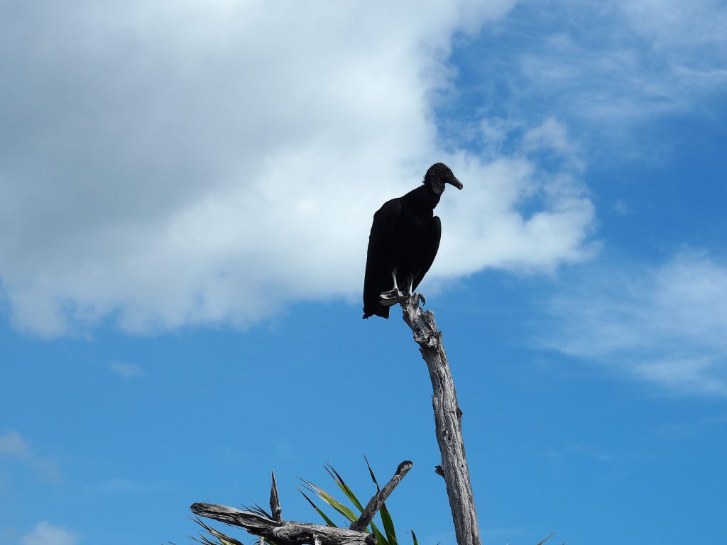 Schwarzgeier im Punta Sur Nationalpark auf Cozumel, Mexiko