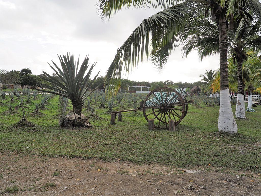 Agavenanbau auf der Tequila-Farm auf Cozumel