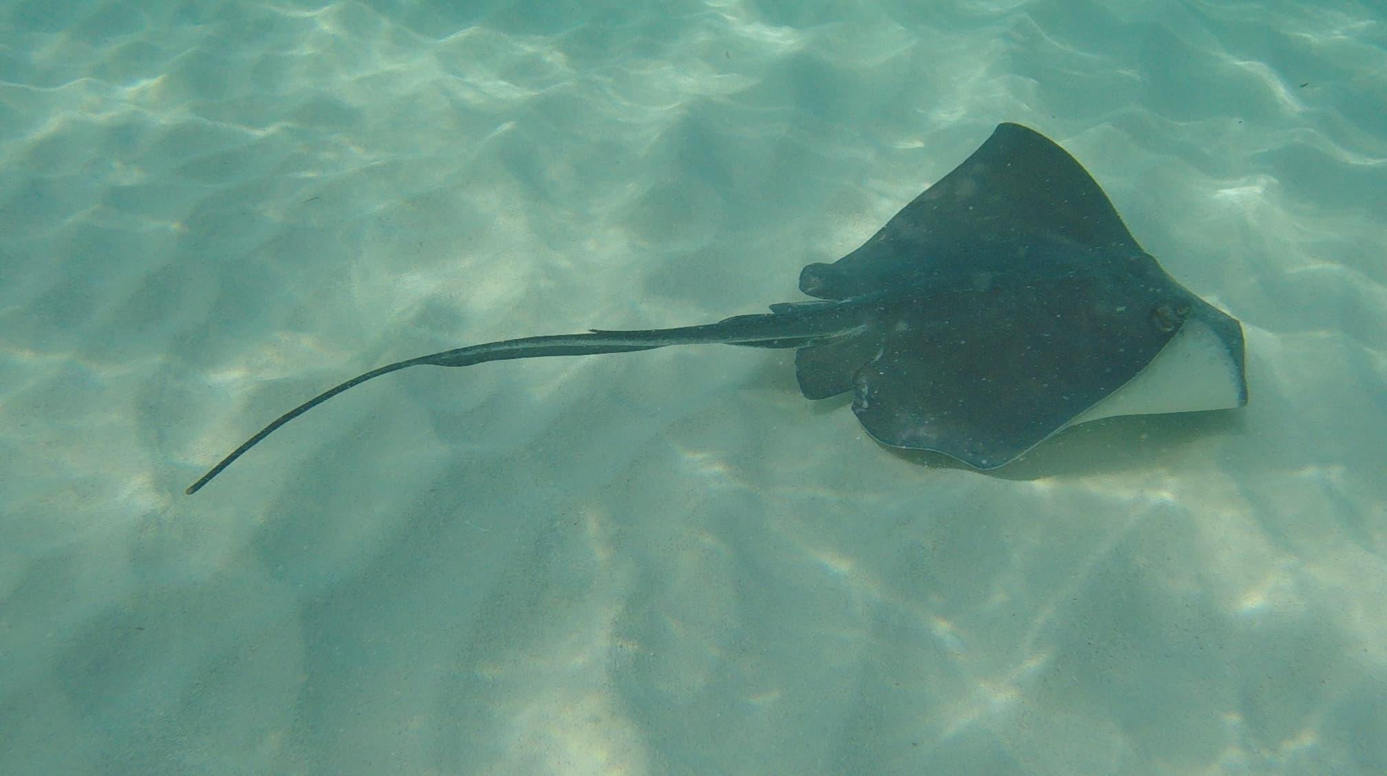 Stachelrochen schwebt über den Meeresgrund in Stingray City auf Grand Cayman