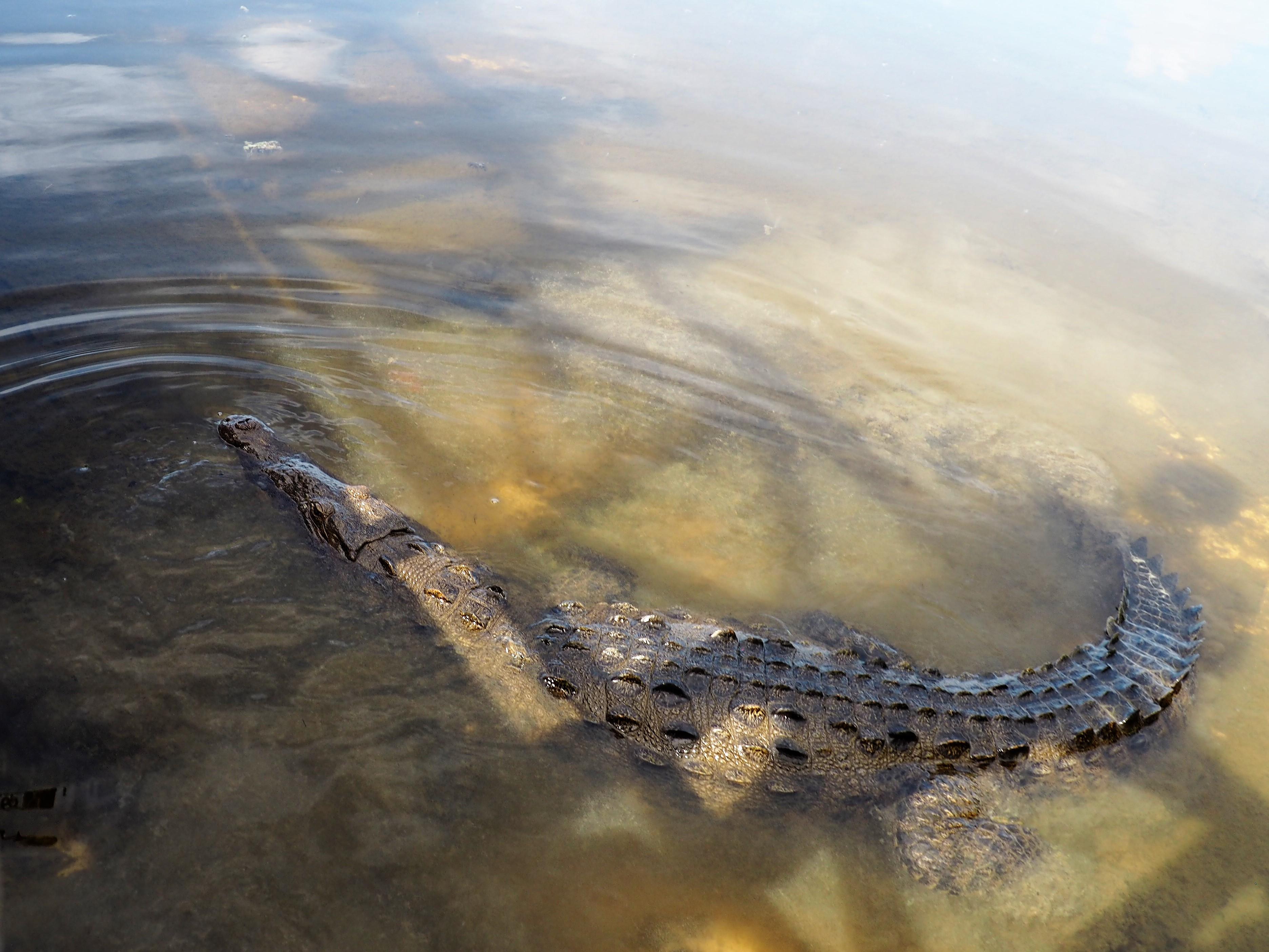 Krokodil im der Lagune des Punta Sur Nationalparks auf Cozumel, Mexiko