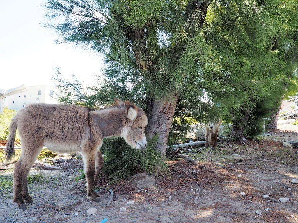 Freilaufende Esel auf Grand Turk