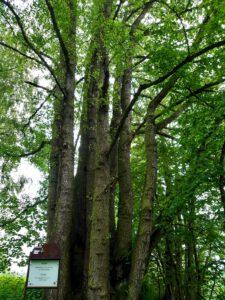 Mächtige Buche Bad Neualbenreuth Waldgesundheitstherapie